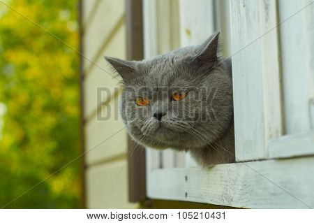 British shorthair cat looking for mice from the window