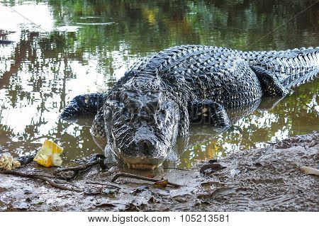 Black Caiman At Yacuma National Park, Bolivia