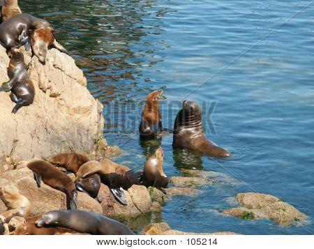 Sealions In The Monterey Harbor