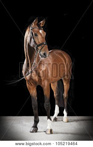 Hungarian Saddle Horse