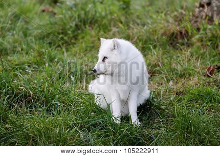 Arctic fox in the nature