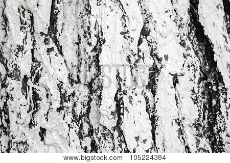 Bark Of A Tree Under Layer Of White Paint