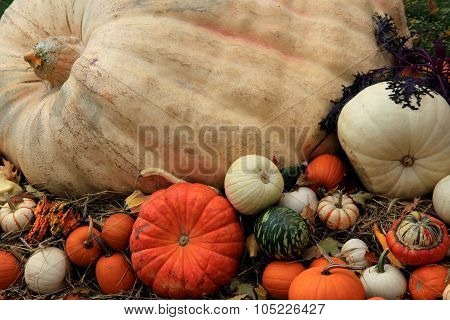 Huge pumpkin surrounded by little squash