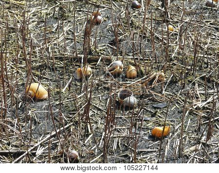 Florida Exotic Apple Snail Shells