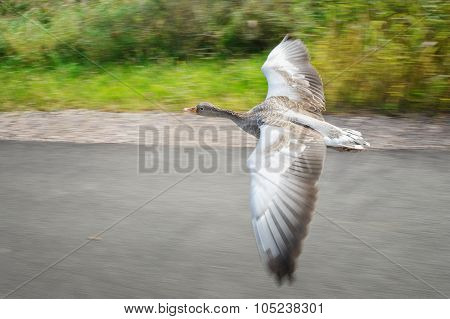 Greylag Goose In Fast Flying Speed Upon Road Near Coloful Field