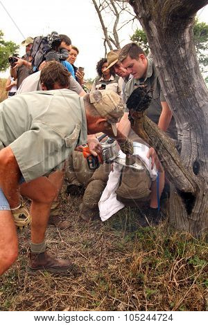 Series 4 Of 6: Dehorning Of Rhino Calf After Been Darted And Stabilized