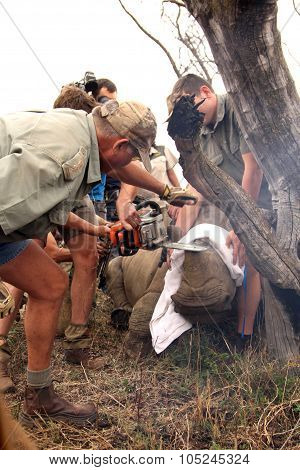 Series 5 Of 6: Dehorning Of Rhino Calf After Been Darted And Stabilized