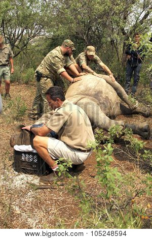 Veterinarian Checking On Condition Of Darted Rhino.