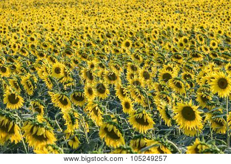 Sunflowers blooming in the countryside - shallow depth of field
