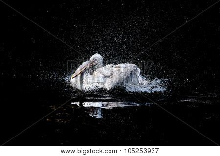 Pelican in dark pond