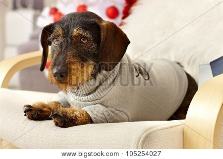Cute dachshund lying in armchair wearing jumper.