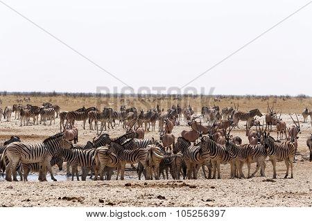 Crowded Waterhole With Zebras, Springbok And Orix