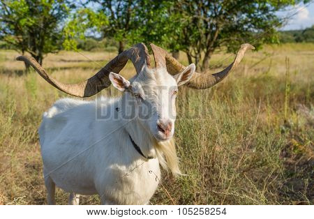 Portrait of Ukrainian goat