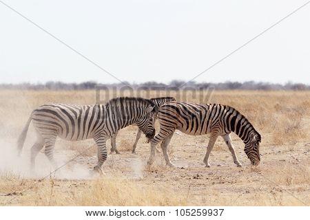 Zebra On Dusty White Sand
