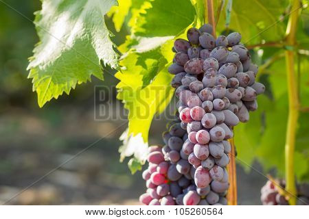 Vine With Bunches Of Blue Grape
