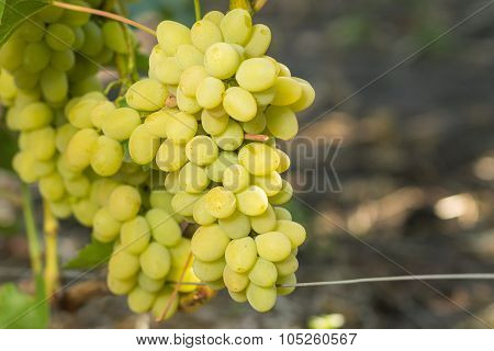 Huge Cluster Of White Grape On Grapevine
