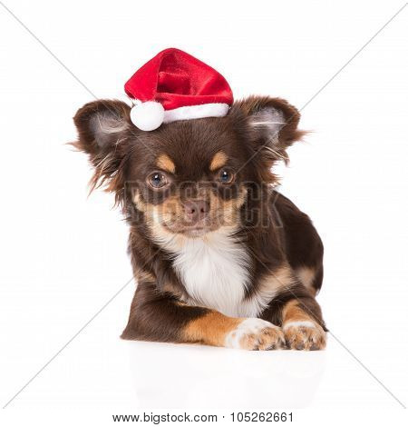 adorable chihuahua dog in a santa hat