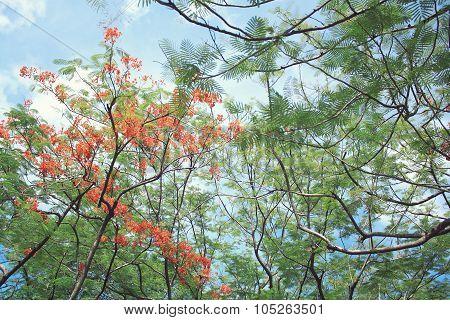 Beautiful orange delonix regia flower
