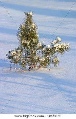 Fur-Tree In Snow