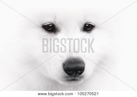 Close-up of a Swiss Shepherd Dog puppy