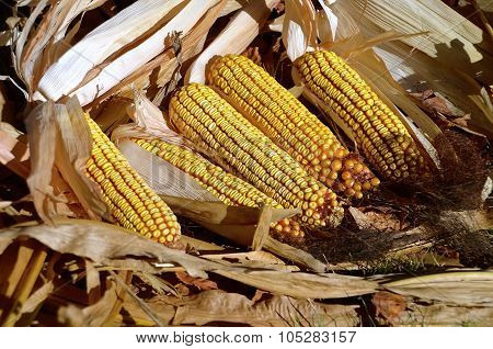 Ripe ears of corn
