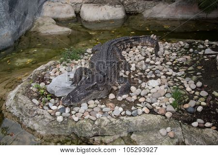 Crocodile In The Zoo