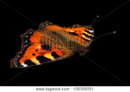 Closeup Small Tortoiseshell Butterfly Isolated On Black Background
