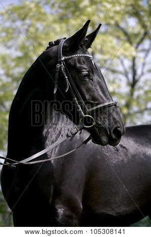 Side View Portrait Of A Beautiful Black Colored Mare