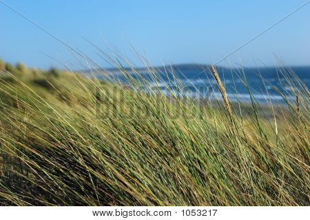 Marram Grass At The Beach