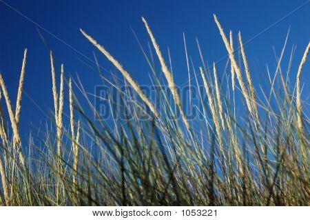 Marram Grass In The Wind
