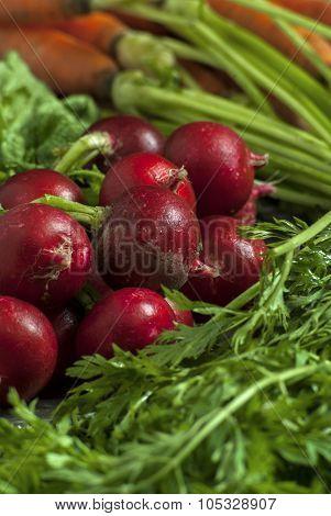 Fresh picked radishes