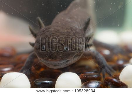 Brown Axolotl Closeup