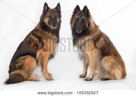 Two Dogs, Belgian Shepherd Tervuren, Isolated