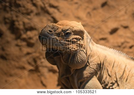 Headshot Of Rhinocerous Iguana; Rock Iguana