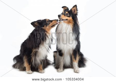 Two Shetland Sheepdogs Sitting Isolated