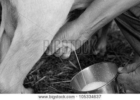 Farmer Milking Goat