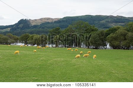 Yellow sheep in Scotland
