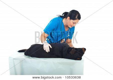 Veterinaria examinar perro