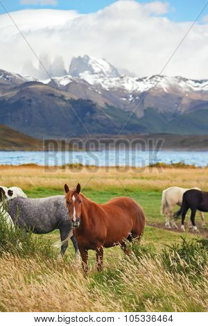 At  lake the herd of magnificent horses is grazed. The fantastic lake Lagoon Azul in park Torres del Paine.