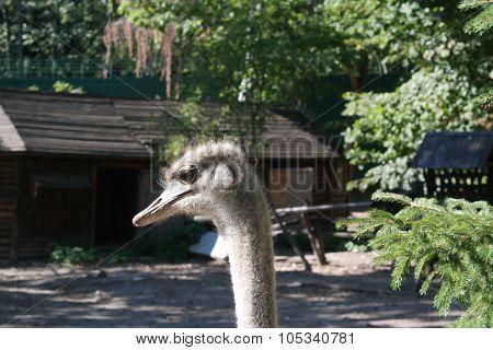 Ostrich Head Close Up Ostrich farm. Ostrich head c