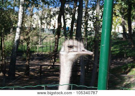 ostrich farm. ostrich with beautiful eyes on the farm