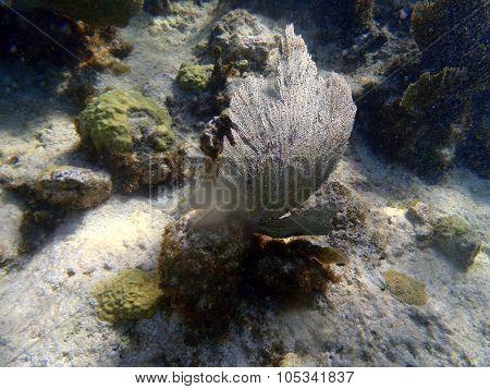 Corals In Caribbean