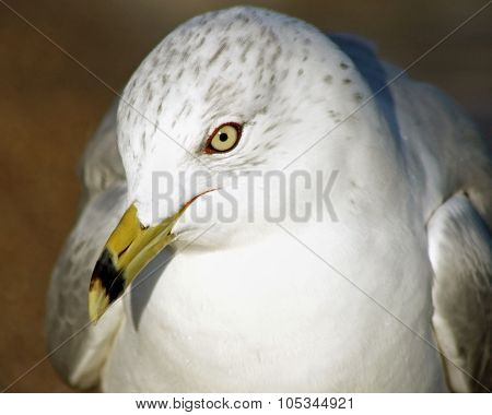 Close up of a beautiful Ring-Billed seagull with its distinctive beak and yellow eyes.  Head slightl