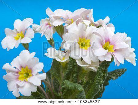 Primula close up in a sunny day