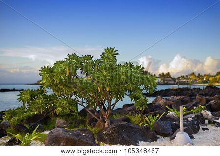 Black stones and tree near the sea. Mauritius