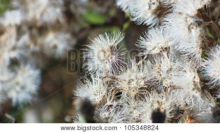 Dried Common Boneset Blooms. Fuzzy Dried Blooms.