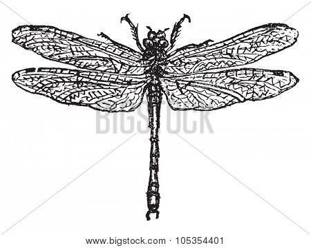 Dragonfly, vintage engraved illustration.