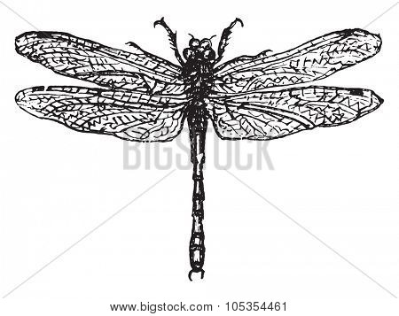 Demoiselle or dragonfly, vintage engraved illustration.