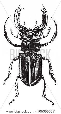 Lucanus cervus, vintage engraved illustration.