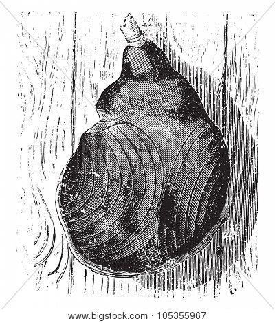 Bayonne ham, vintage engraved illustration.
